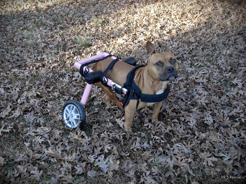 Nyla, a handicapped, wheelchair dog.